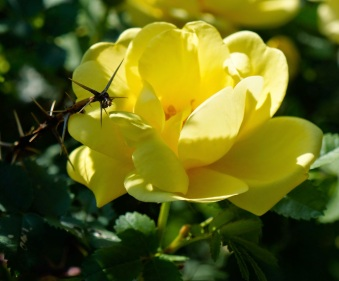 Yellow Rose with Thorns