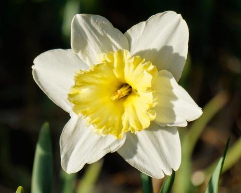 ec0fd-daffodil