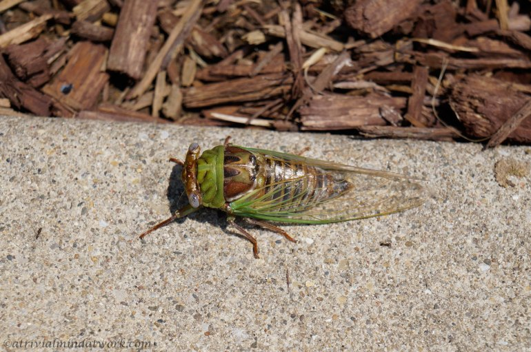 Freshly molted cicada enjoying the warm sidewalk