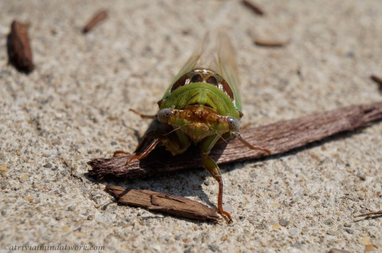Cicada charging the camera and me (I managed to escape)