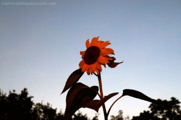 "Sunflower at Dusk - I stood to take this picture at 6'2"" and still could not touch the petals!"
