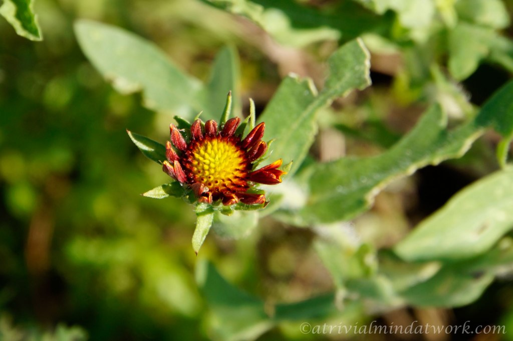 The Texas Wildflower known as Firewheel, Indian Blanket, Indian Blanketflower, or Sundance