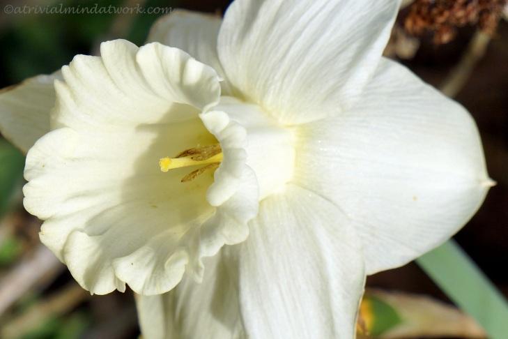 Daffodil in the early morning sun.