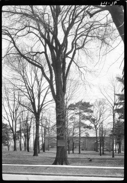 The Infamous Van Buren Elm (picture taken in 1926 (Courtesy, The Lilly Library, Indiana University, Bloomington, Indiana.)